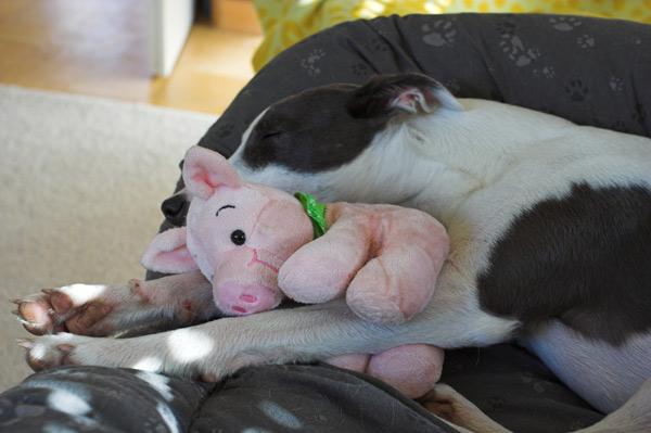 Kleine Raptorin schläft...