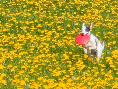 Maggie joggt mit Frisbee